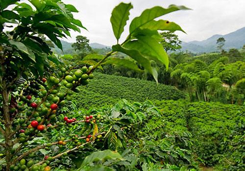 Plantacii coffee Costa Rica
